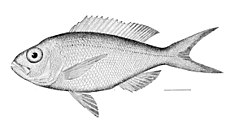 Pristipomoides macrophthalmus