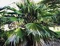 Pritchardia kaalae (4762112474).jpg