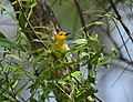 Prothonotary Warbler (34701468801).jpg