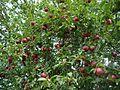 Prunus domestica E2.jpg