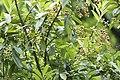 Prunus laurocerasus - Taflan, Giresun 2017-07-05 03-1.jpg