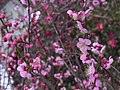 Prunus mume Kyoto, Japan 02-2005 02.jpg