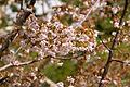 Prunus nipponica 09.jpg