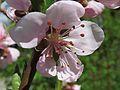 Prunus persica Kiev6.jpg