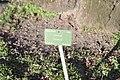 Prunus serrulata 'Hisakura' in the Jardin des Plantes of Paris 003.JPG
