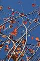 Prunus yedoensis 1zz.jpg