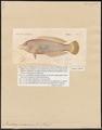 Pseudodax moluccensis - 1817-1841 - Print - Iconographia Zoologica - Special Collections University of Amsterdam - UBA01 IZ14000007.tif