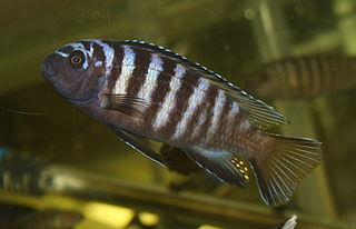 Chindongo elongatus (Likoma Island)