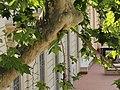 Psittacula krameri (18653489475).jpg