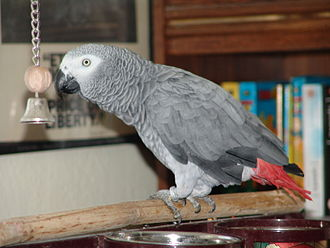 Wing clipping - A wing clipped grey parrot
