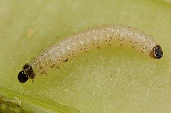 Psylliodes chrysocephala larva (31943653745).jpg