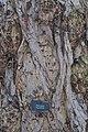 Pterocarya fraxinifolia, Royal Botanic Gardens, Edinburgh - geograph.org.uk - 1636177.jpg