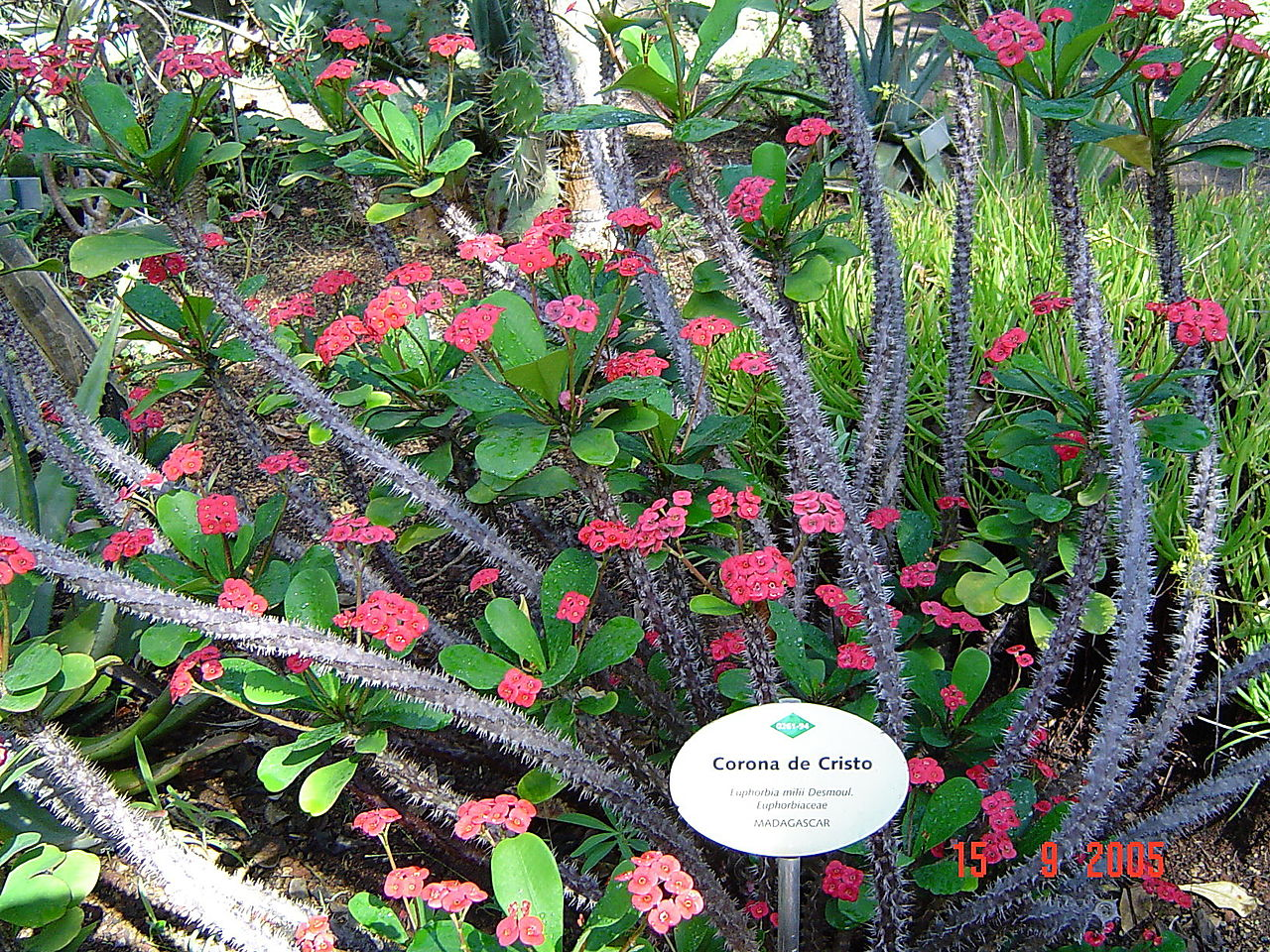 File puerto de la cruz jardin botanico euphorbia milii for Jardin botanico de tenerife