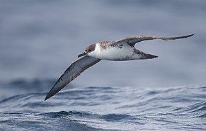 Great shearwater - In flight