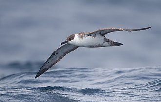 Great shearwater - In flight