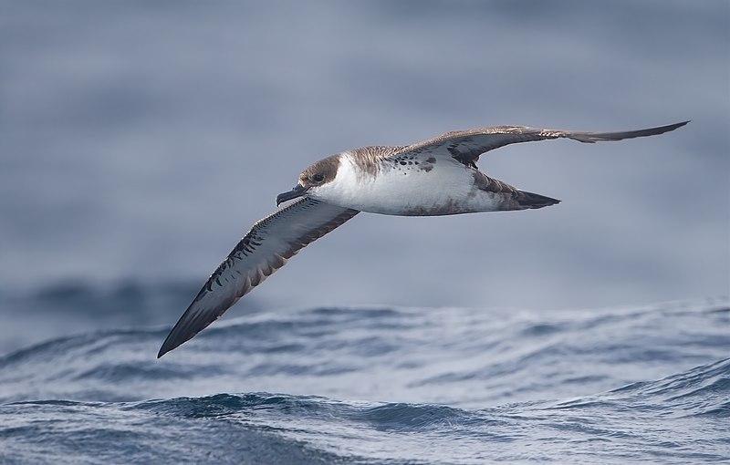 File:Puffinus gravis - SE Tasmania.jpg