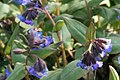 Pulmonaria-angustifolia-flowering.jpg
