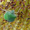 Punaise verte green shield bug (5035064639).jpg
