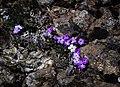 Purple Flowers (18474852612).jpg