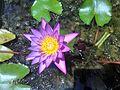Purple Nymphaeaceae Varkala.jpg