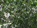 Putranjiva roxburghii 01.JPG