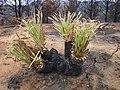 Puya sp. Incendio Palmar El Salto, Viña del Mar, febrero 2012 por Pato Novoa.jpg