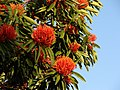 Queensland Waratah-tree 1.jpg