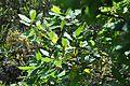 Quercus canariensis 11.jpg