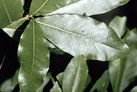 Quercus imbricaria (USDA)