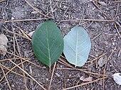 Quercus suber Blatt.jpg