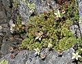 Réserve naturelle nationale des Aiguilles Rouges - plant 2.jpg