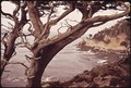 ROCKY SEASHORE AND GNARLED TREE - NARA - 543134.tif