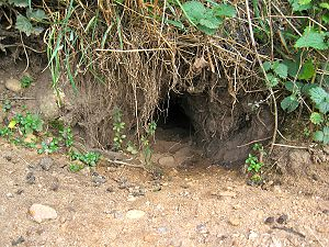 Outdoor entrance to a rabbit burrow
