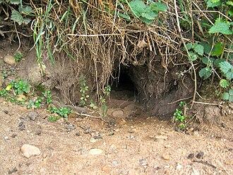 Rabbit - Outdoor entrance to a rabbit burrow