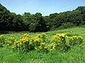 Ragwort and woods near Abermawr - geograph.org.uk - 1441780.jpg