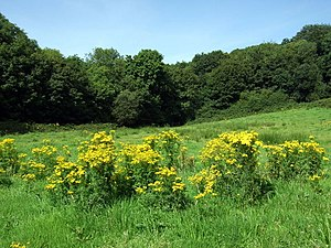 Misinformation - Image: Ragwort and woods near Abermawr geograph.org.uk 1441780