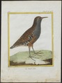 Rallus aquaticus - 1700-1880 - Print - Iconographia Zoologica - Special Collections University of Amsterdam - UBA01 IZ17500007.tif