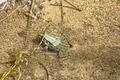 Rana arvalis quitte l'eau d'une douve au parc national des Cévennes près d'Anduze.tif