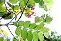 Rangoon Creeper (Combretum indicum) at Bhadrachalam.jpg