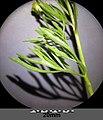 Ranunculus arvensis sl15.jpg