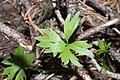 Ranunculus eschscholtzii 6384.JPG