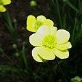 Ranunculus illyricus10.jpg