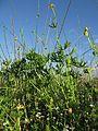 Ranunculus undosus habit7 NWP - Flickr - Macleay Grass Man.jpg