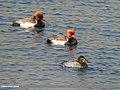 Red-crested Pochard (Netta rufina) & Common Pochard (Aythya ferina) (34722487575).jpg
