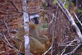 Red-fronted Brown Lemur (Eulemur rufifrons) female (9578750054).jpg