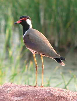 Red-wattled Lapwing denoised.jpg