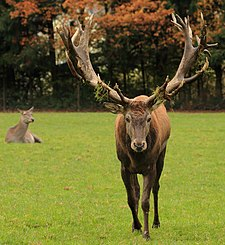 Red Deer Poing.JPG