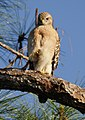 Red Shouldered Hawk staring downn at me in Corkscrew Wildlife Sanctuary, Florida (31843754773).jpg