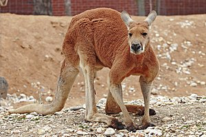 Red kangaroo - Male at Melbourne Zoo