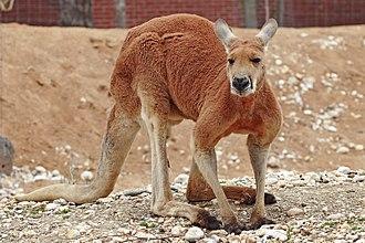 Australian megafauna - Red kangaroo